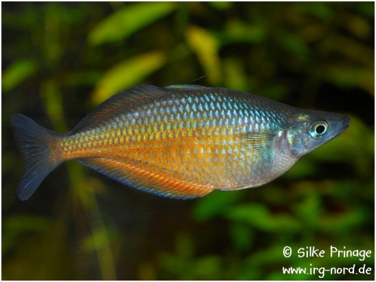 chilatherina_fasciata_clearwatercreek_1