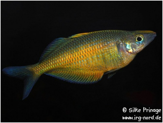 chilatherina_fasciata_clearwatercreek_3